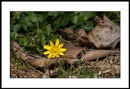 Appalachian Spring : 3  The Lesser Celandines