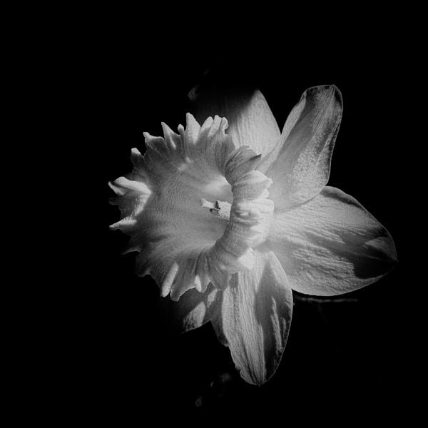 Daffodil by taggart