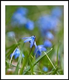 Appalachian Spring : 4  Scilla