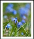 Appalachian Spring : 4  Scilla by taggart