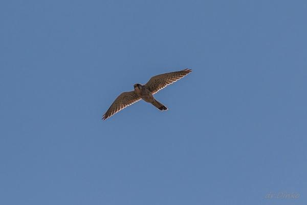 Falco peregrinus by drDinko