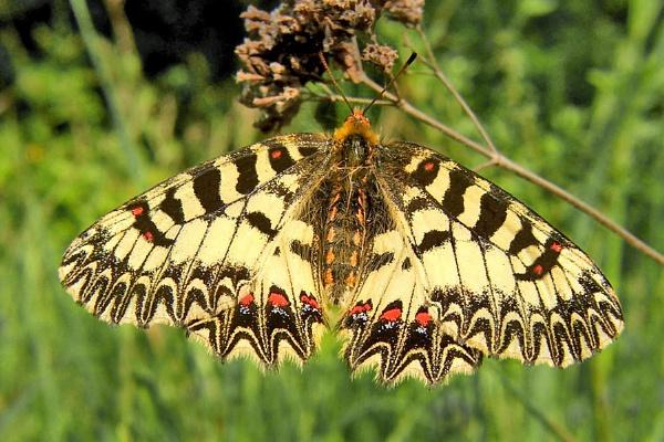 Southern Festoon-Zerynthia polyxena by bobpaige1