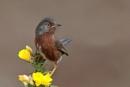Dartford Warbler--Sylvia undata