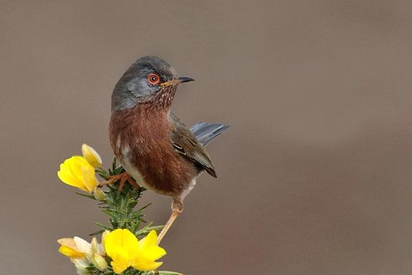 Dartford Warbler--Sylvia undata by bobpaige1
