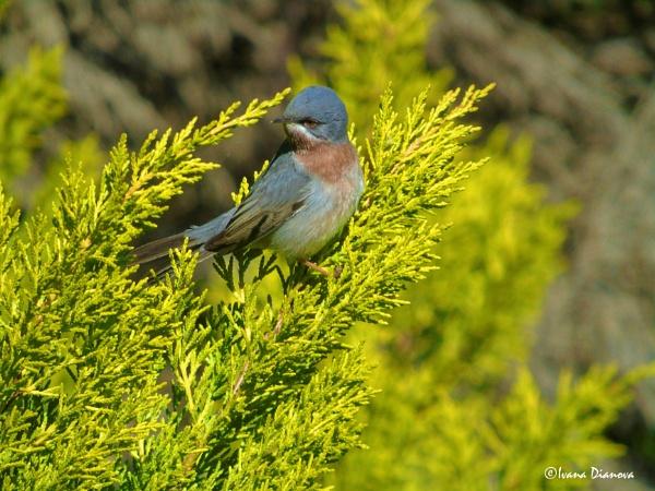 Subalpine Warbler (Sylvia cantillans) by idiabb