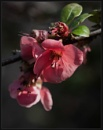 Flowering Quince by Morpyre