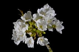 Rowan (Mountain Ash) Flowers
