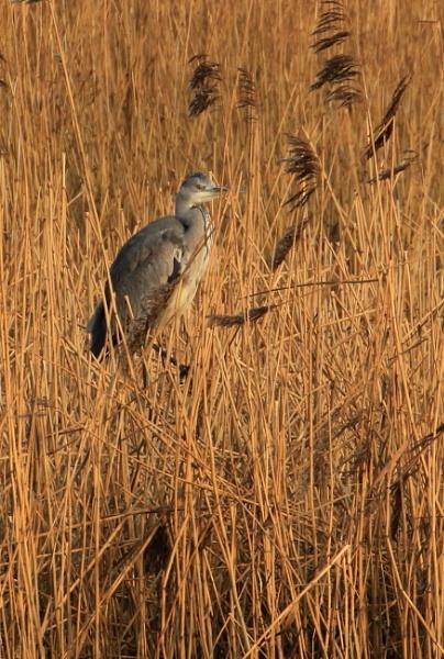 Heron in the reeds.