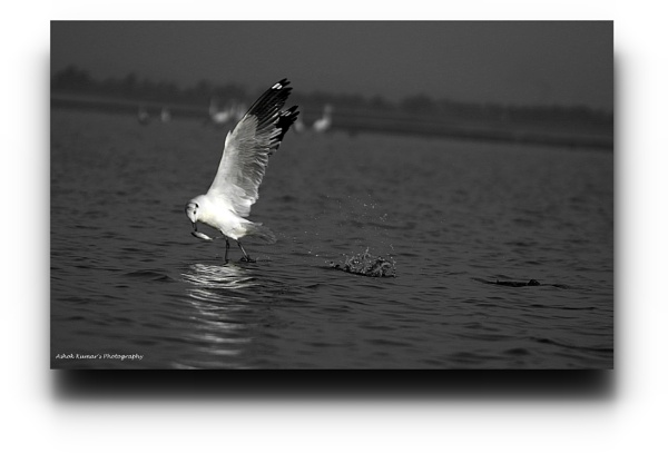 Brown headed gull in action by ashokynk