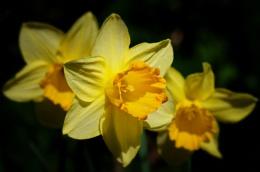 """""""Sunlit Daffodils""""."""