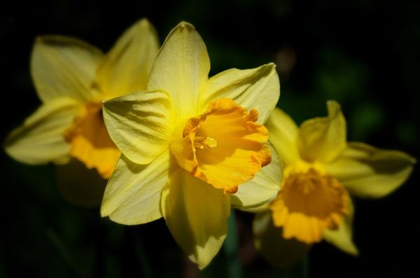 "\""Sunlit Daffodils\"". by adrianedwa"