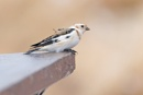 Snow Bunting by kfjmiller at 31/03/2017 - 2:17 PM