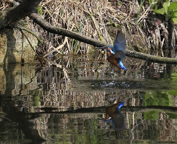 Kingfisher surfacing by Fatronnie