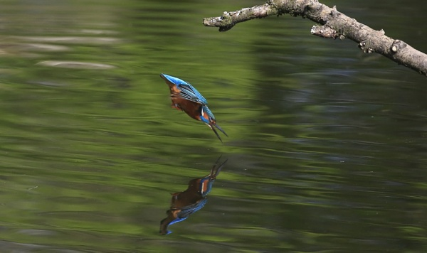 Kingfisher diving 2 by Fatronnie