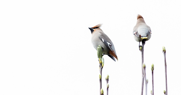 Waxwings Today (no joke)! :-) by SocksAndStuff