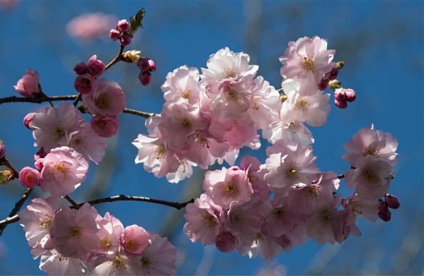 Cherry Blossom by Janetdinah