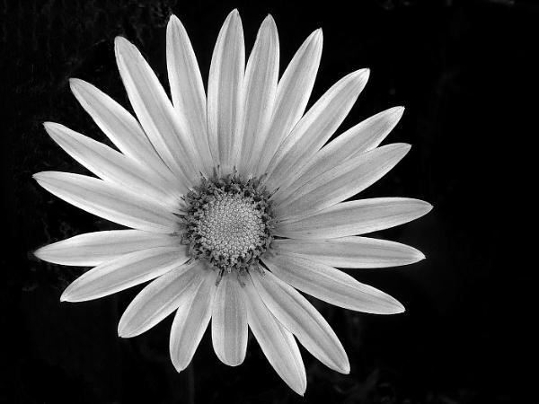 Daisy by Sallyb63