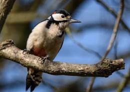 Male woodpecker.