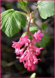 ** Flowering Redcurrant **
