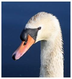 Nature Swan Head
