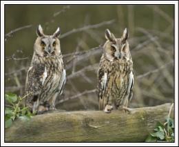 Long Eared Owls.