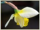 Spring Bloom by Sylviwhalley