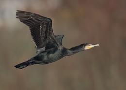 Linford Lakes Cormorants