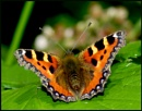 """Small Tortoiseshell"". by Badgerfred"