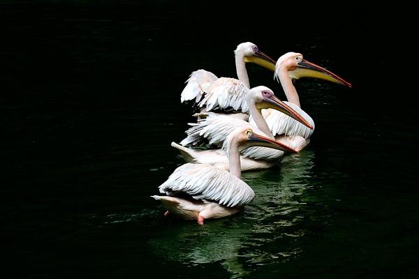 Great White Pelican by Susheel