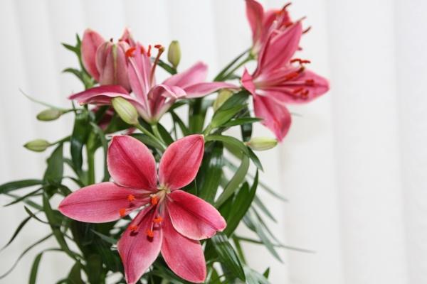 Lily by pamzan