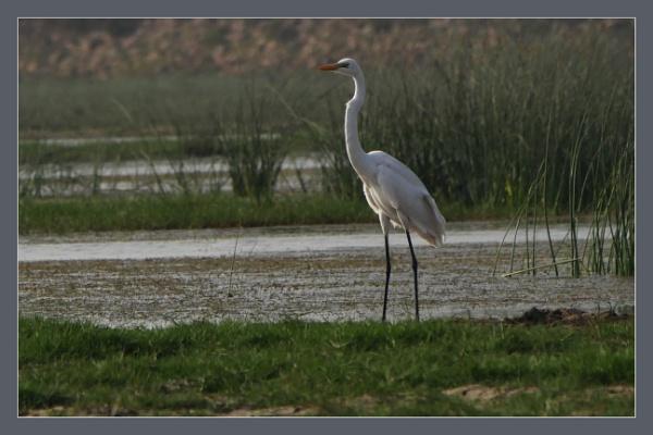 Lone Egret by prabhusinha