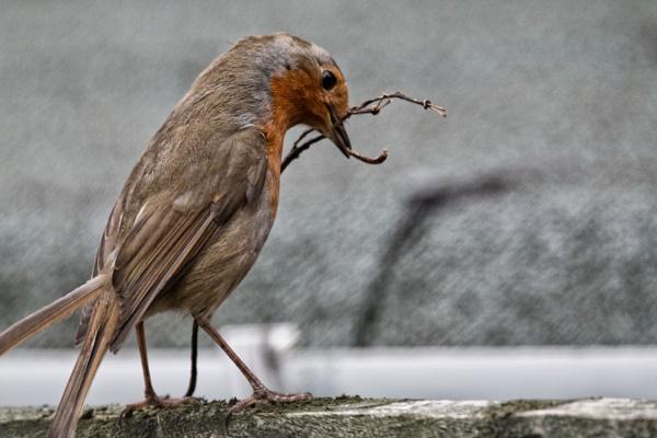 mr robin building his nest by stevegilman