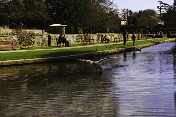 Surfing Swan!! by Jat_Riski