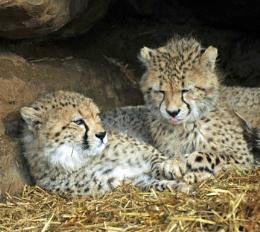 A pair of Cheatah Cubs