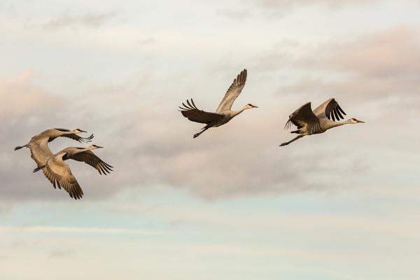 4 Sandhill Cranes in flight by rontear