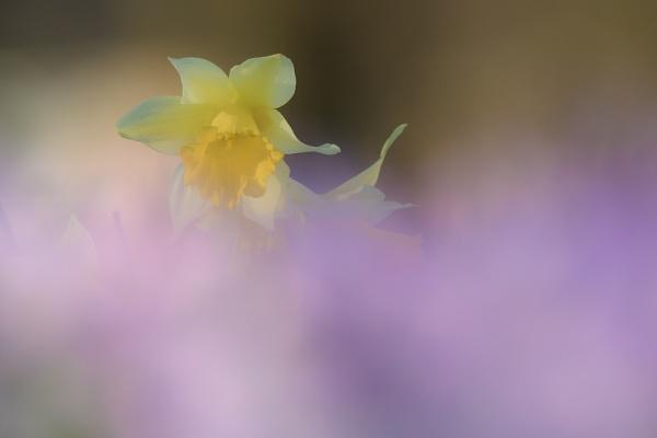 spring in purple haze by olafo