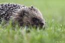 Hog in the Grass by SteveMoulding