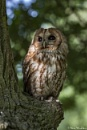 Dappled Light Tawny by SteveMoulding