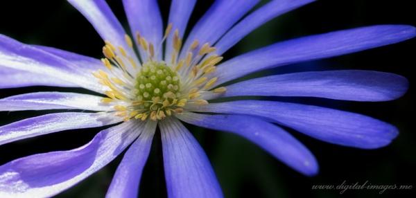 Anemone by Alan_Baseley