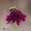 Bee on flower by Ayoob