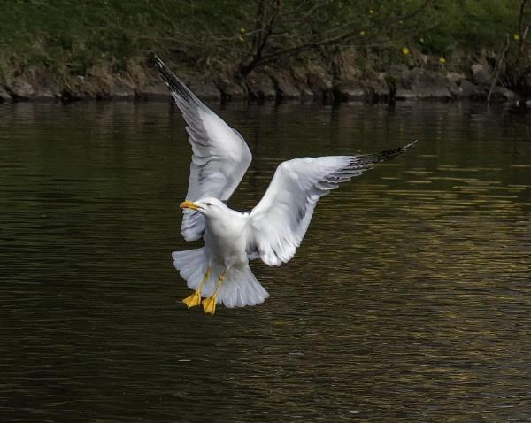 Gull by Bickeringbush