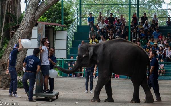 Elephant Show - Sriracha, Pattaya Thailand by Swarnadip