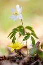 Wood Anemone - Anemone nemorosa vs Lesser Celandine - Ficaria verna by Mendipman