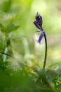 Bluebell - Hyacinthoides non-scripta by Mendipman