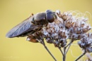 Hoverfly - Cheilosia sp. by Mendipman