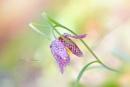 Fritillaria meleagris by jackyp