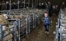 At the sheep market by HelenaJ
