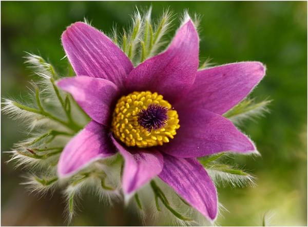 Pasque Flower by dark_lord
