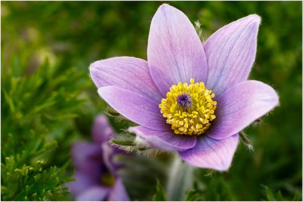 Pasque Flower 2 by dark_lord
