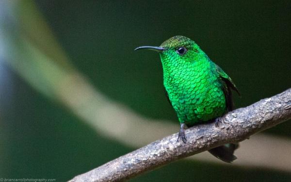 "Garden Emerald Hummingbird \""Chlorostilbon Assimilis\"", Costa Rica by brian17302"